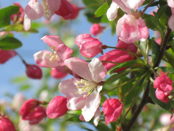 With Pink Red Or White Flowers A Blooming Crable Tree Has An Intoxicating Scent That Will Fill The Neighborhood Look For Kind E