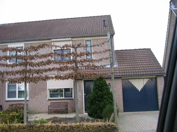 Leicarpinus kopen | Leibeuk is een bladhoudende Leiboom | Bomenenzo.nl