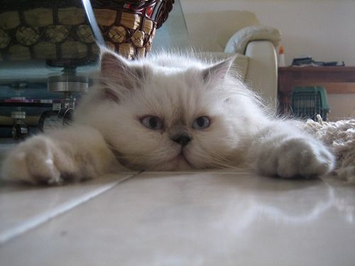 Himalayan persian cat playing with toy