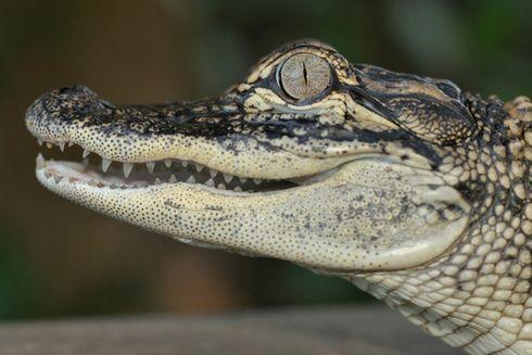 La Réserve Africaine de Sigean met ses Alligators à la disposition de la recherche scientifique