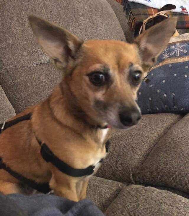 Adopt Anna On Rat Terrier Mix Terrier Mix Dogs Pet Adoption
