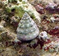 Lumache in acquario marino