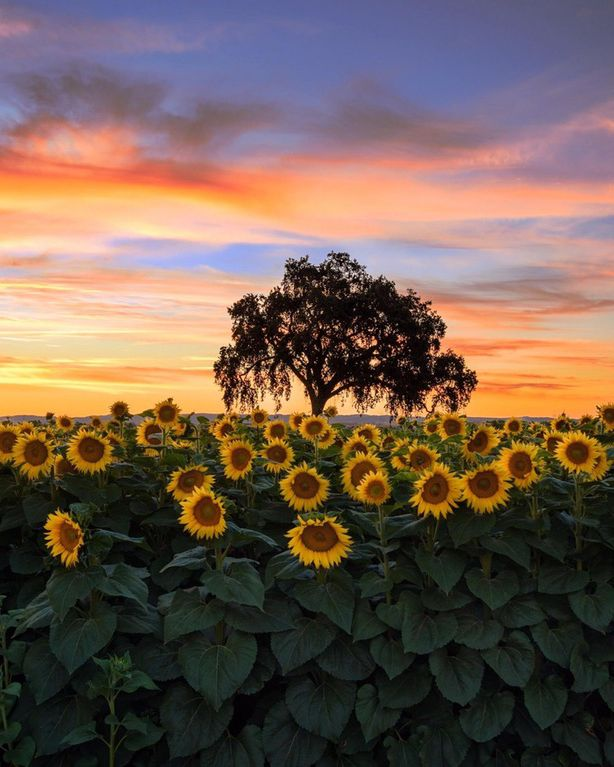 Sunflowers at sunset in Woodland, California