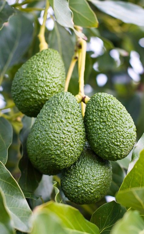 how to make avocado edible