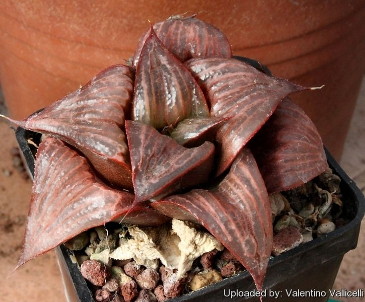 Haworthia cv. Jaffa Photo by: Valentino Vallicelli  Origin and Habitat: Garden origin (Nursery produced cultivar)  Synonyms:      Hawo...
