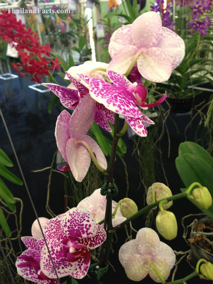 ThailandFacts.com white orchid flower