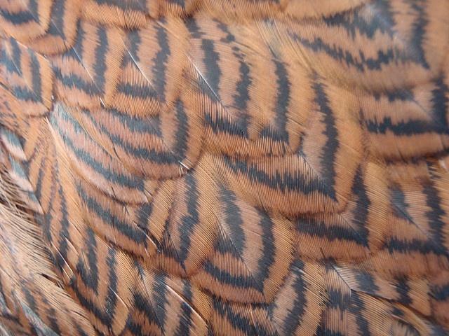 Ameraucana feathers