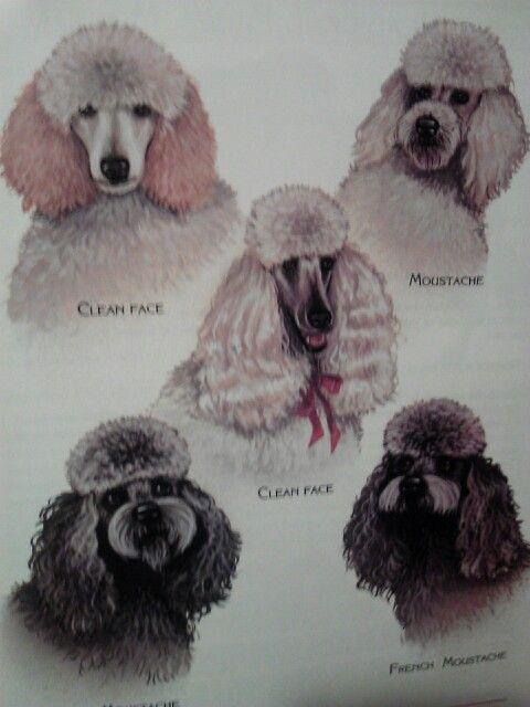 Poodle faces