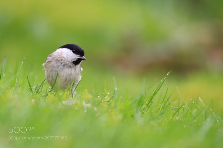 Willow tit by jsae2