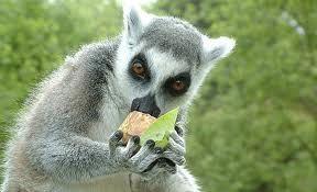 het ringstaartmaki is een klein aapje, hij is ongeveer 3 kilo. hij eet heel veel bijvoorbeeld: bladeren, bloemen, fruit, sap, bast en nog veel meer. je kunt hem zien in zuid- en zuidwest Madagaskar. je kunt hem herkennen aan zijn opvallend zwart en wit geringde staart.