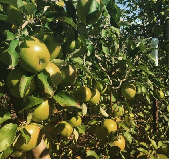 Take a drive to the Blue Mountains and on your way stop by Bilpin Springs Orchard to pick your own fresh apples. Depending on the time of the year, other fruits like pears, plums and peaches are available for picking too!