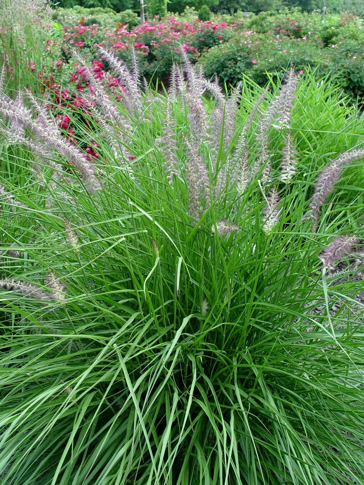 17 best images about growing grass on pinterest gardens for Low growing perennial ornamental grass