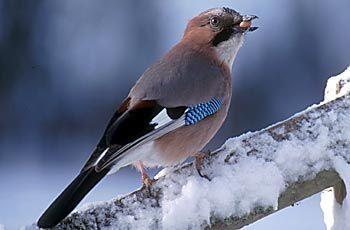 BirdLife Suomi - Pihabongaus - Närhi