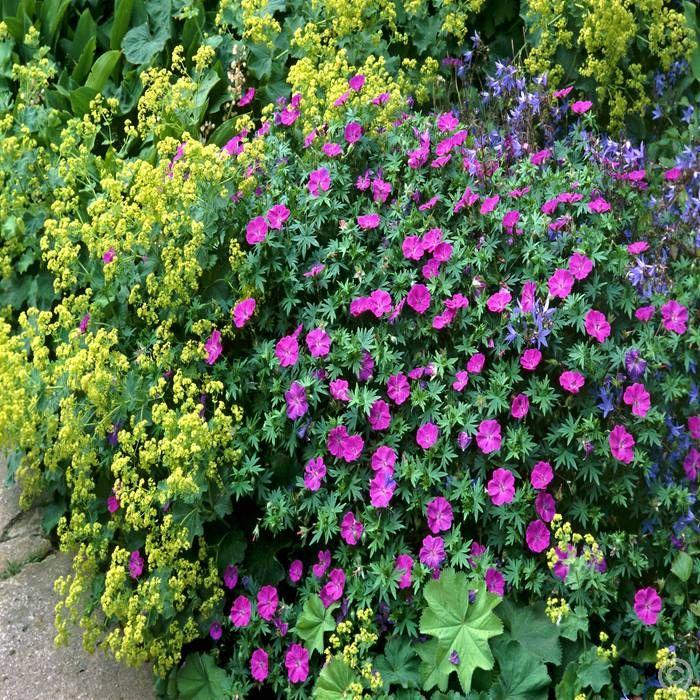 Martha Washington Geraniums Care: 473 Best Images About Geraniums And Pelargoniums On