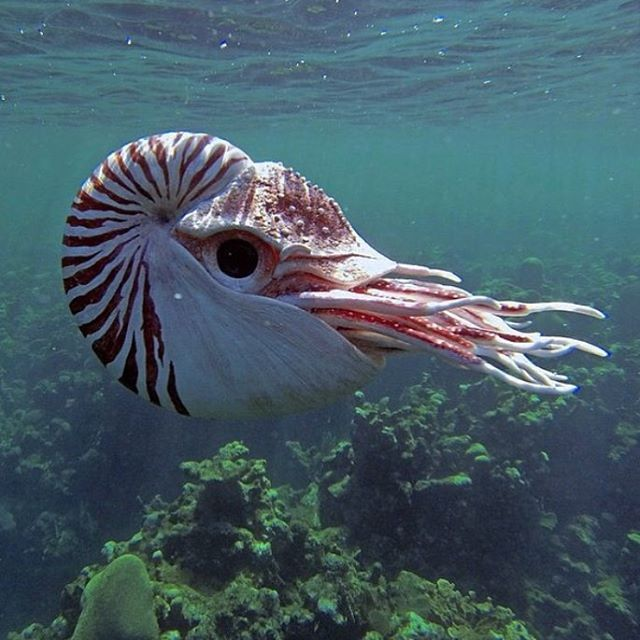 Nautilus, usually a deep water specimen, seen here floating around a reef. Via Instagram.