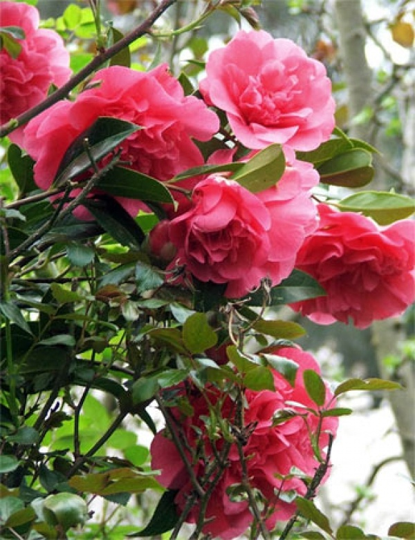 The 233 best shrubs and trees images on pinterest gardening the classic camellia tree flowering mightylinksfo