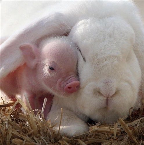 magicalnaturetour:    When the bunny met the piglet - Animal hugs and cuddles via News - MSN Ireland Rex Features/FOTODOM.RU :)