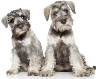 Como Adiestrar Fácil a Tu Perro: Como Educar a un Perro Schnauzer Miniatura Cachorro