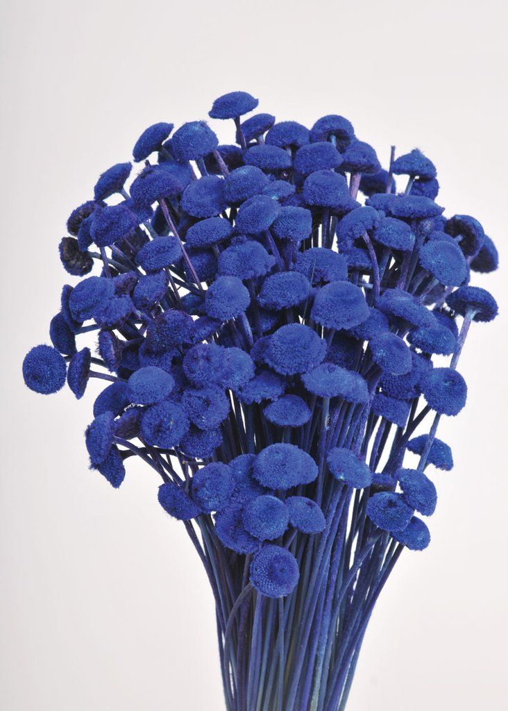 Preserved Mini Billy Button Bundle Craspedia In Blue Br 3 Oz Bunch Br 16 Tall Flowers For Sale Larkspur Flower Dried Flowers