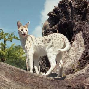 White Serval. One day I'm going to get a Savannah cat-- the domestic equivalent of this guy. They go on walks and love swimming!!