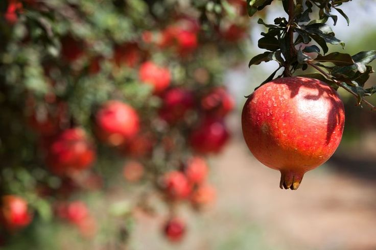 Millions die every year from cancer. Millions more from heart disease. A solid body of research indicates that consuming pomegranate may be the ideal way to protect yourself against the top two killers in the postmodern age.