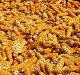 jagung untuk kesehatan