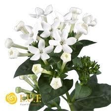 bouvardia flowers