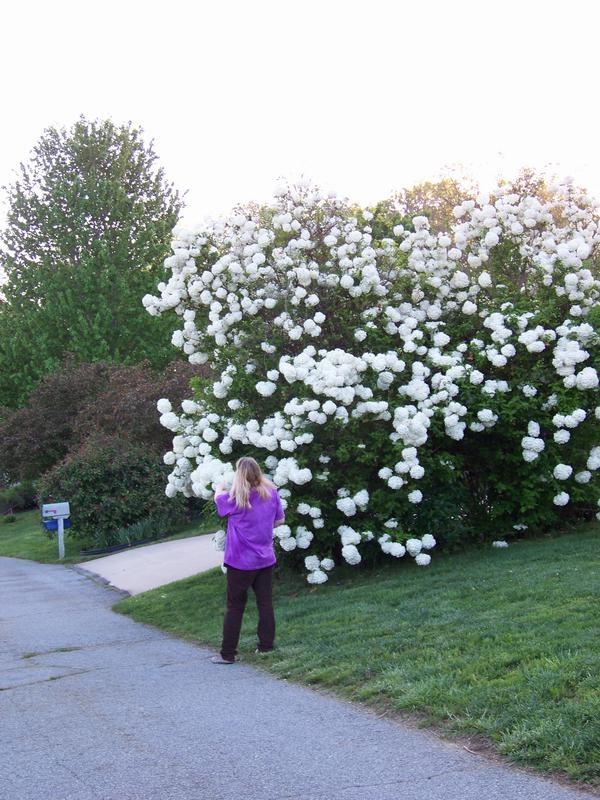 The Giant Snowball Bush A Viburnum Landscape