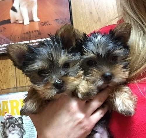 Text 2675188616  Top quality Male and Female Yorkie Puppies. Ready to go they ar…   – cute