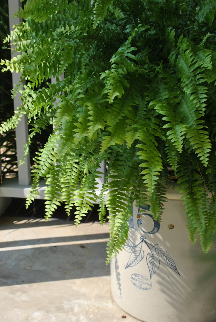 Shade partial sun loving boston fern sits on an iron for Porch plants that are part sun and part shade