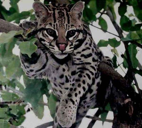 Jaguatirica (nome científico – Leopardo Pardalis)                                                                             Este felino não está presente em todas as Américas, mas possui espécies habitando parte dos Estados Unidos e se estendendo até a Argentina, passando é claro, pelo Brasil.