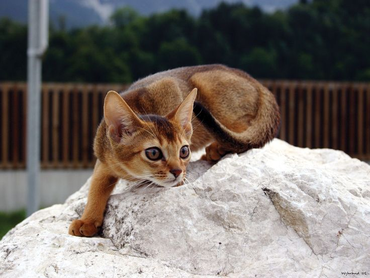 Abyssinian kittens for sale wa