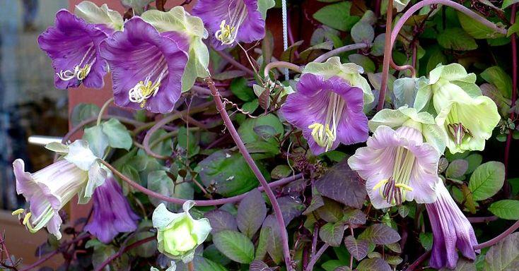 Glockenrebe Cobaea scandens - Bilder und Beispiele zu dieser Rankpflanze!