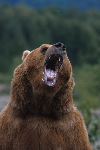 1179272. Brown bear growling standing up Alaska
