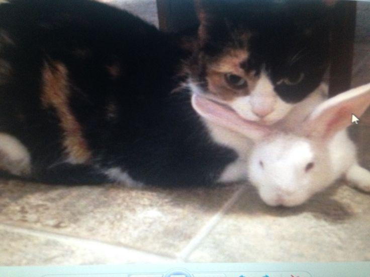 Good friends Baby Bobbie & Tina NZ white rabbit & calico cat
