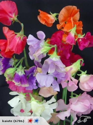 Mammoth Mix, early-blooming, and long stemmed, with large blossoms in a mix of deep burgundy, scarlet, white, lavender, mid-blue, deep rose, rose pink, and salm...