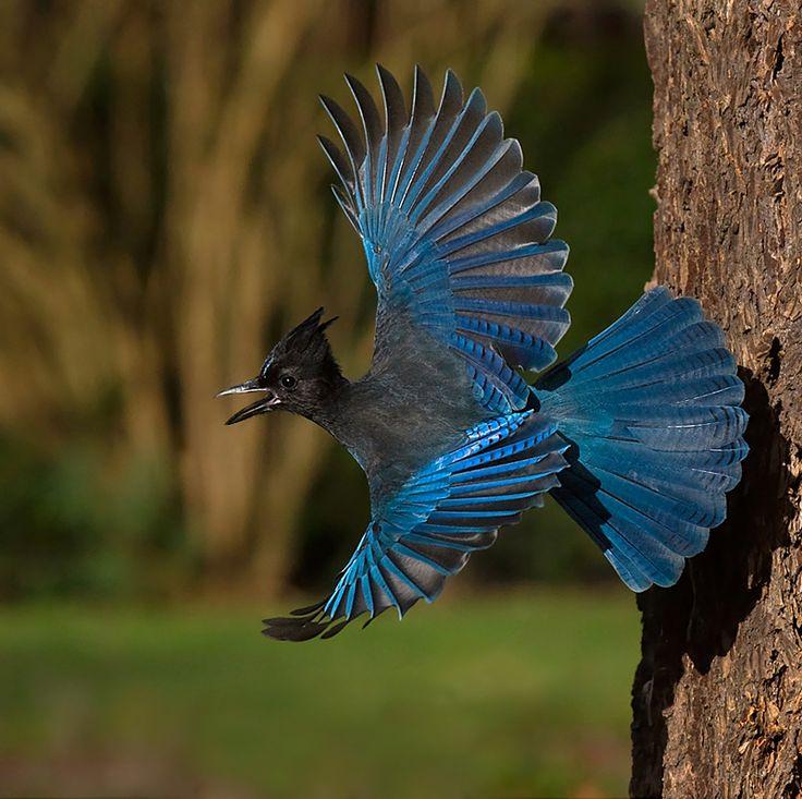 [Obrazek: bfc48bd2cce162b337c918e1933757dc--blue-j...d-wing.jpg]