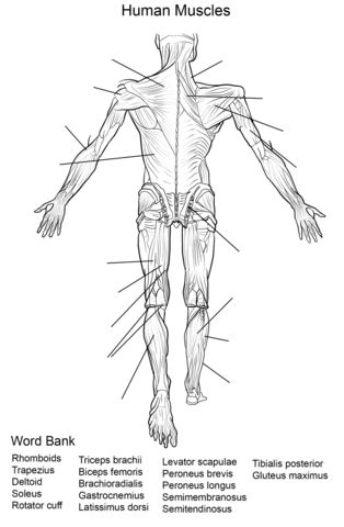 find this pin and more on massage therapy human muscles back view worksheet coloring page