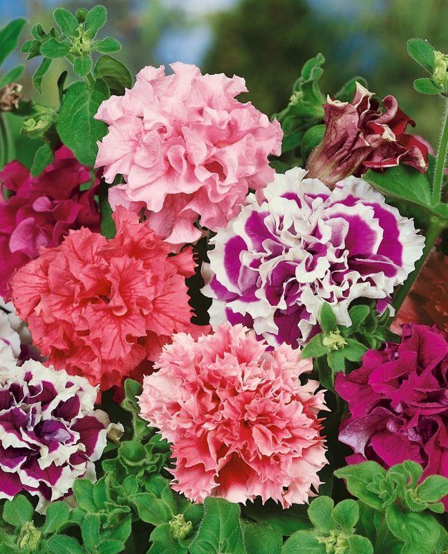 PETUNIA F1 'Fanfar' i gruppen Ettåriga blomsterväxter hos Impecta Fröhandel (380)