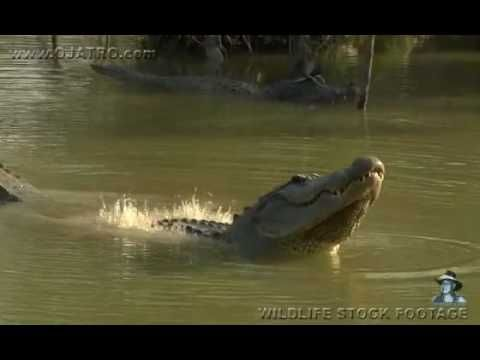 Watch How Alligators Make Water Boil with Their Infrasound Mating Calls