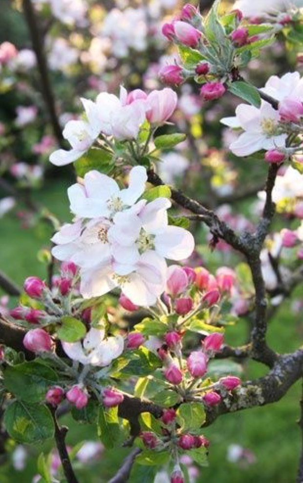 Cherry Blossoms Spring Flowers Beautiful Flowers Blossom