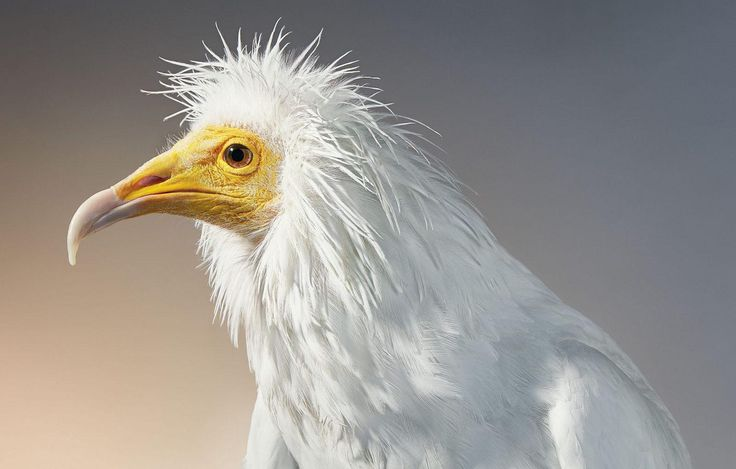 Egyptian Vulture by Tim Flach. #timflach #animalphotography #vulture