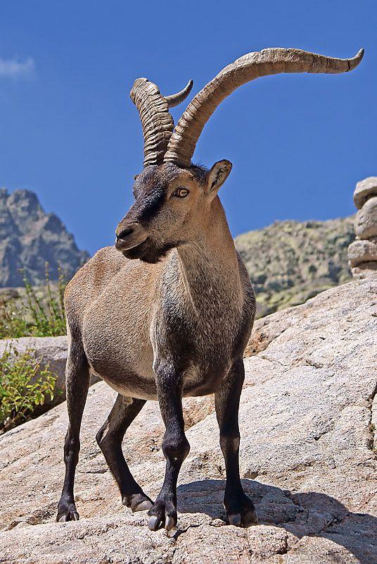 macho montes Buscar con Google Animales, Fotos de