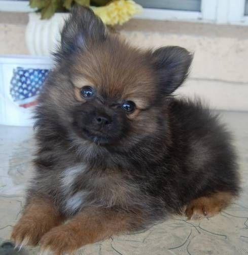 Pomeranian Puppies,Orange Sable Boy W/ White Markings in Orlando ...