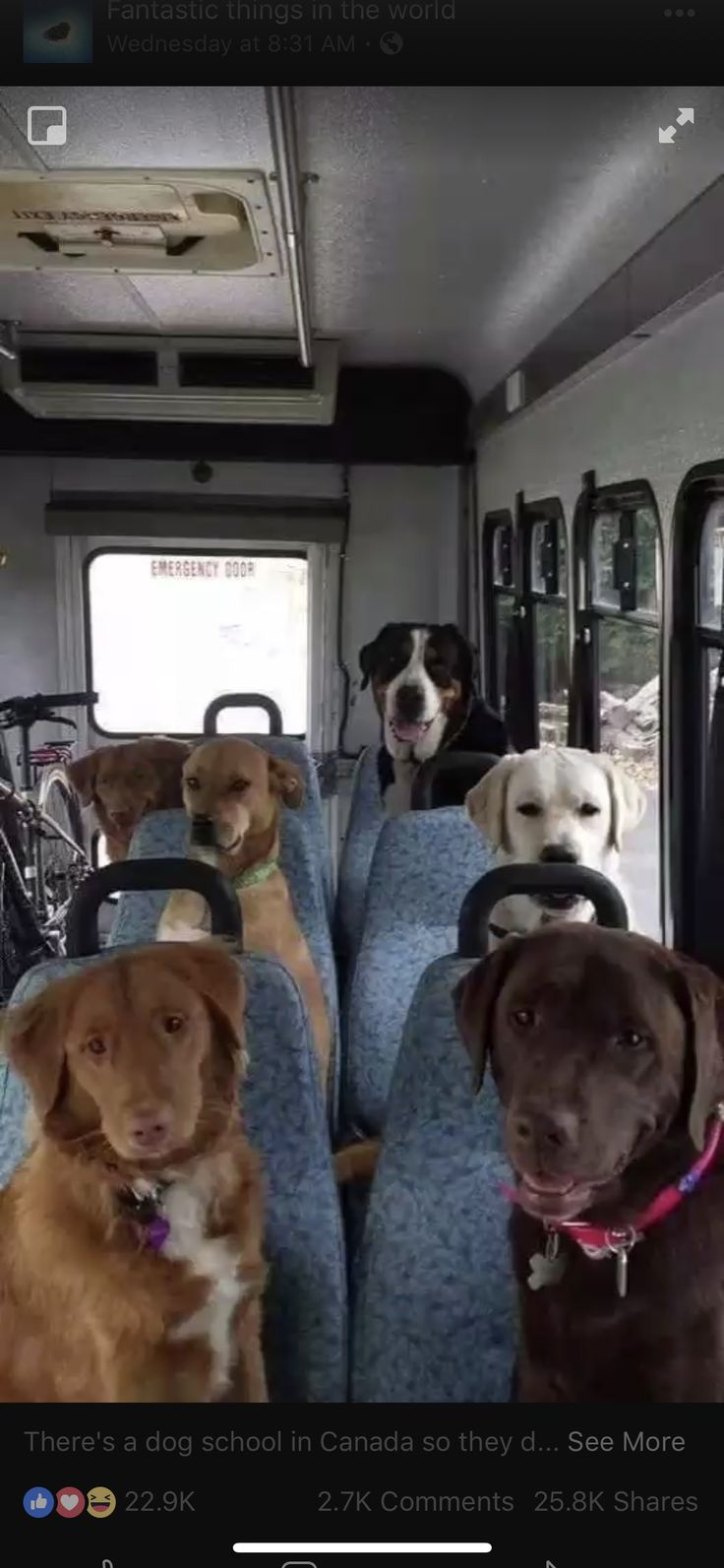 There's a dog school in Canada so they don't stay home alone. This is a picture taken on the way to school. #dogsandpuppieslabs