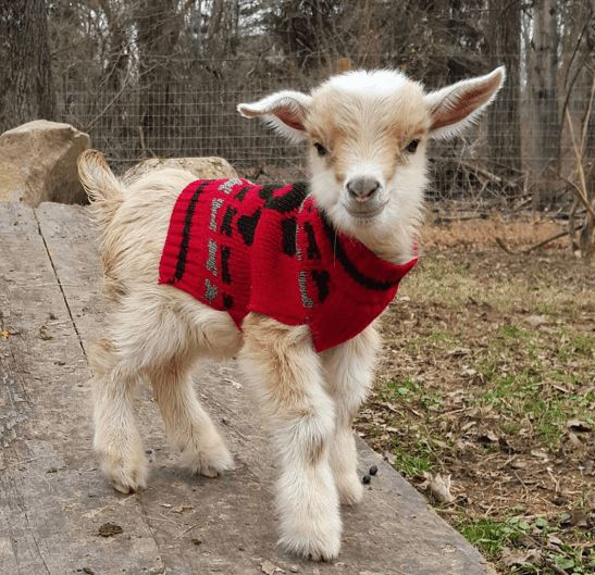Baby Goat In A Christmas Sweater – Too Cute! (VIDEO)