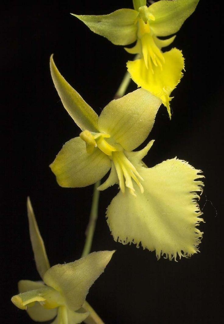 Tolumnia calochila. La planta se encuentra en áreas secas de Cuba, Hispaniola y las Islas Caimán.