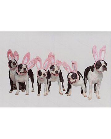 boston bunnies.