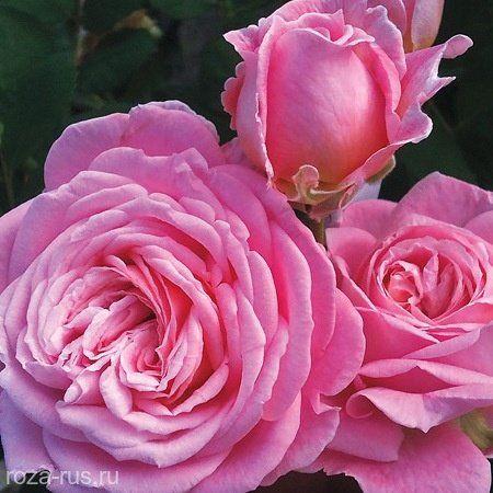 Роза фиджи негро разведение