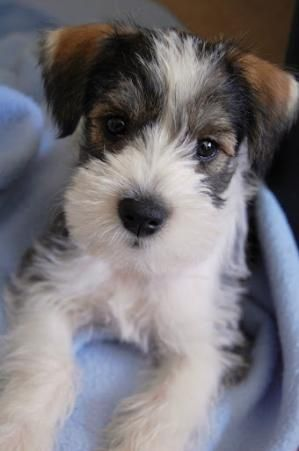 hilo, baby miniature schnauzer. by luvmypets